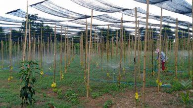 อาสาไทยยืนยัน Thai Reference ปราจีนบุรีตัวอย่างผู้สูงอายุทำสวนพลูเก็บใบขายรายได้ดี