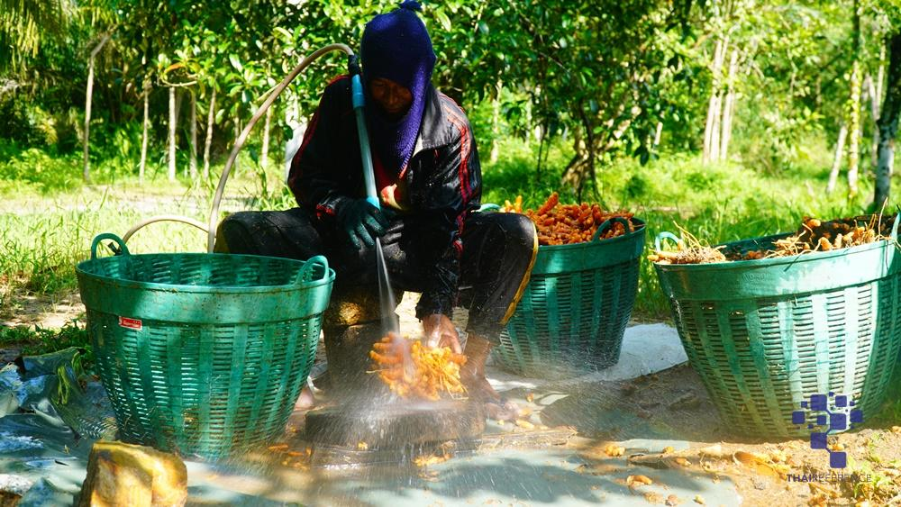 อาสาไทยยืนยัน Thai Reference พัทลุง ขมิ้นราคาตกเกษตรชาวไร่วอนราชการช่วยหาตลาดส่งหวังราคาดีขึ้น