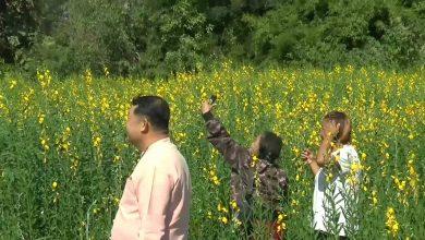 พะเยา ชมความสวยงามดอกปอเทืองบานเหลืองอร่ามกลางใจเมืองจุน อาสาไทยยืนยัน Thai Reference